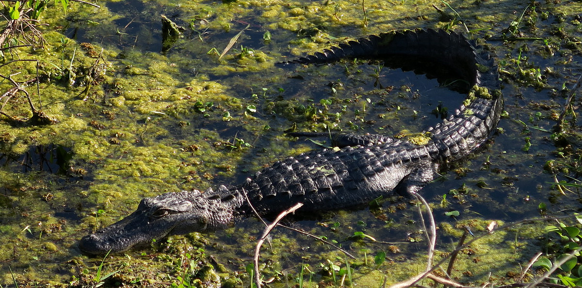 Cooters pond gator