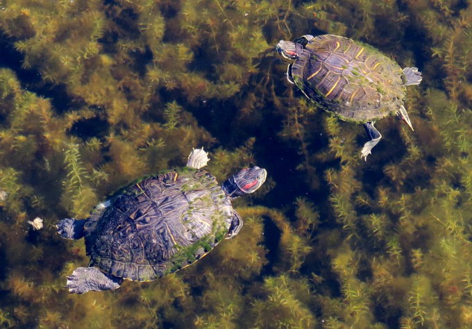 Turtles of Cooter Pond