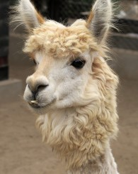 Peruvian Llama (otherwise known as lunch)